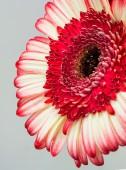 Gerbera flower — Stock Photo