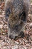 Boar portrait. — Stock Photo