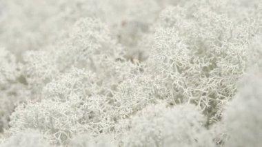 The snow flake like Cladonia stellaris on the ground FS700 Odyssey 7Q — Stock Video