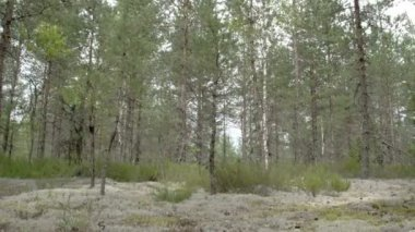 Tall pine trees surrounding lots of cup lichen on the ground FS700 Odyssey 7Q — Stock Video