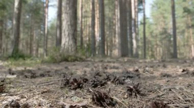 Lots of pine cones scattered on the ground — Stock Video