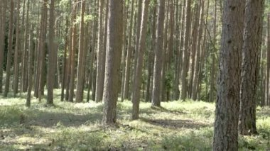 Trunks of the pine trees in the forest — Stock Video