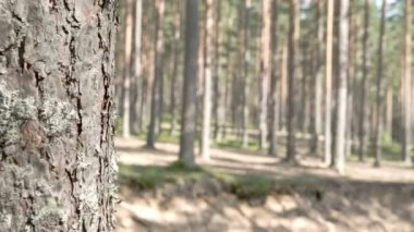The beautiful trail of the pine trees in the forest — Stock Video
