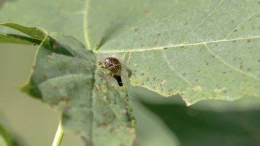 Chlupatý můra nebo housenka pomalu jíst list — Stock video