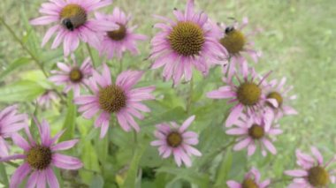 Set of purple cornflower in the meadows — Stock Video