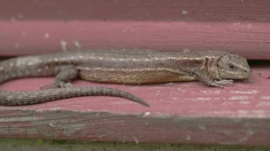 A brown common lizard on the wood — Wideo stockowe