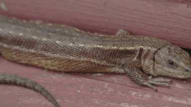 A brown long tail common lizard stuck on the wood — Stock Video