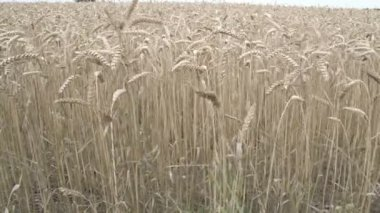 Brown wheat grasses on the field — Stock Video