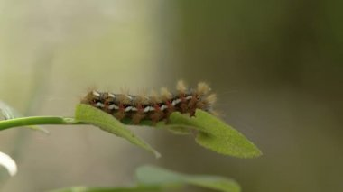 A caterpillar or a moth on the edge of the leaf — Stock Video