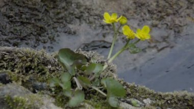 The yellow Marsh Marigold flowers — Stock Video