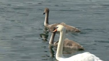 Swans swimming on the lak — Vídeo de Stock