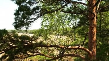 Big birch tree with green leaves — Stock Video