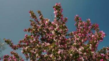 Cherry bloom plant — Stock Video