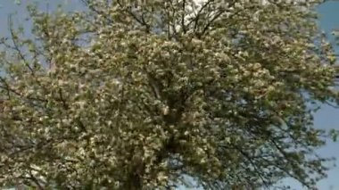 White flowers of the apple tree — Stock Video
