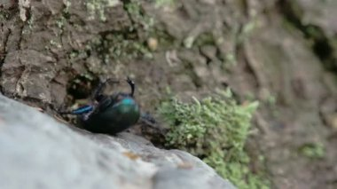 Blue greenish shiny dung beetle trying to curl up and crawl FS700 4K — Stock Video