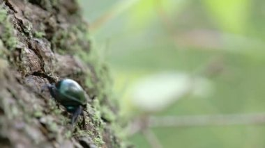 A dung beetle crawling on a tree with its tiny legs FS700 4K — Stock Video