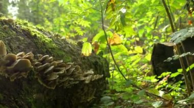 Lots of Fomitopsis Pinicola found on the trunk of a mossy tree FS700 4K — Stock Video