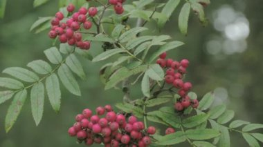 Bunch of Sorbus aucuparia fruits that are pinkish in color FS700 4K — Stock Video