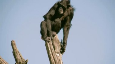 A black chimpanzee on top of a stem  FS700 4K — Stock Video