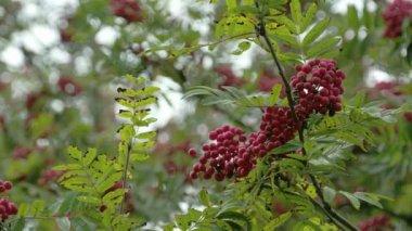 Lots of Sorbus fruits on the European Rowan tree FS700 4K — Stock Video