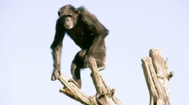 Pan troglodytes or chimpanzee is going down from the tree FS700 4K — Stock Video
