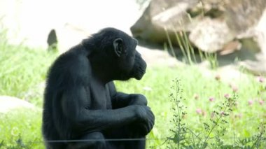 A black common chimpanzee sitting on the grass  FS700 4K — Stock Video