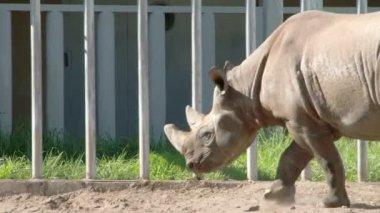 A big brown Rhinoceros walking on the yard FS700 4K — Stock Video