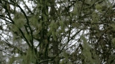 White Usnea hanging on the stem of the tree FS700 4K — Stock Video