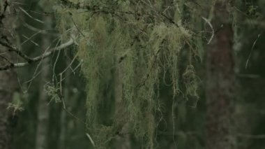 A thick beard lichen hanging on the stem FS700 4K — Stock Video