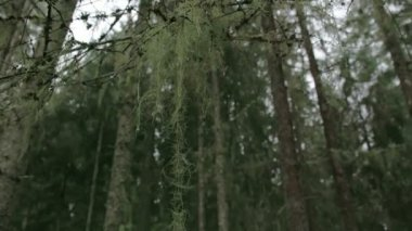 Lots of spruce trees around with beard lichen FS700 4K — Stock Video