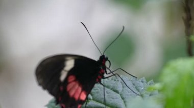 Black butterfly with red spots — Stock Video