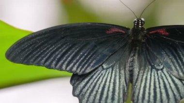 Velký krásný černý motýl — Stock video