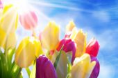 Close Up Of Sunny Tulip Flower Meadow Blue Sky And Bokeh Effect — Stock Photo
