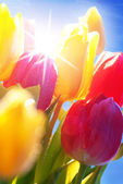 Sunny Blue Sky With Bouquet Of Tulip Flowers — Foto de Stock