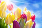 Close Up Of Sunny Tulip Flower Meadow With Copy Space And Blue Sky — Stock Photo