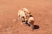 Dogs playing with trash — Stockfoto
