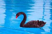 Beautiful black swan — Stock Photo
