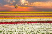 Campo de tulipanes contra la opinión de globo de aire caliente — Foto de Stock