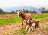 Goat playing with baby goats. — Stock Photo