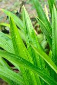 Green Pandanus leaves — Stock Photo