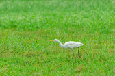 Cattle Egret on green meadow — Stock Photo