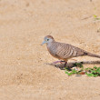 Zebra Dove walks on sandy beach — Zdjęcie stockowe #56159565