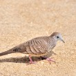 Zebra Dove walks on sandy beach — Zdjęcie stockowe #56159603