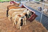 Sheep flock feeding at the farm — Stock Photo