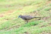 Zebra Dove on green grass — Stock Photo