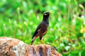 Common Myna  perched on stone — Stock Photo