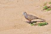 Zebra Dove walks on sandy beach — Foto Stock