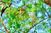 Great Egret on the tree branch — Stock Photo