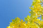 Golden autumn yellow leaves against clear blue sky — Stock Photo