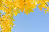 Indian summer gold yellow autumn leaves over clear blue sky — Stock Photo